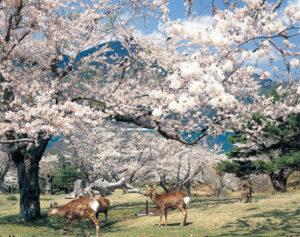 No.020037 金華山の桜と鹿
