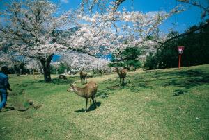 No.020046 桜と鹿