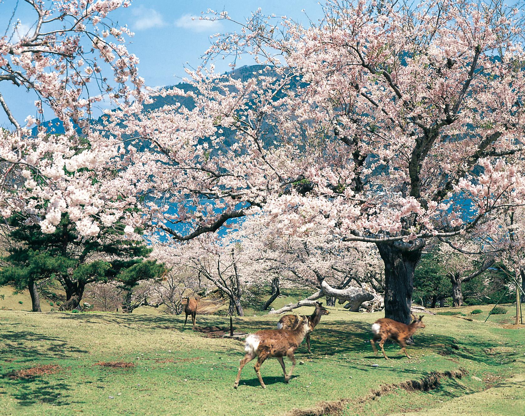 No.020050 鹿と桜