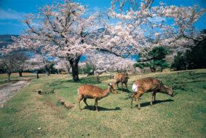 No.020051 金華山の鹿