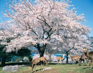 No.020055 金華山の桜と鹿