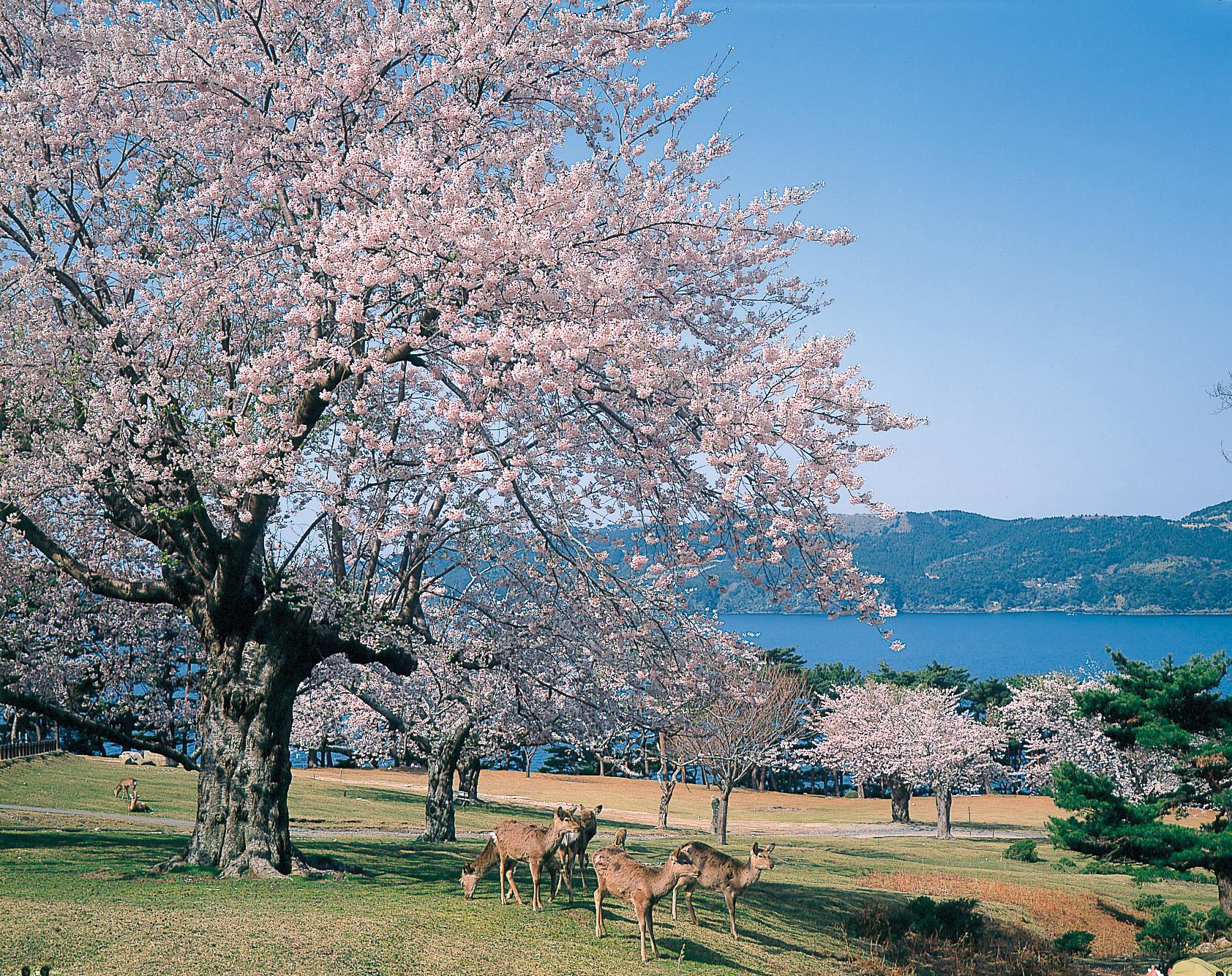 No.020056 金華山の桜と鹿