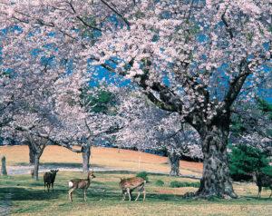 No.020063 金華山の桜と鹿