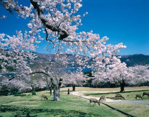 No.020076 金華山の桜と鹿