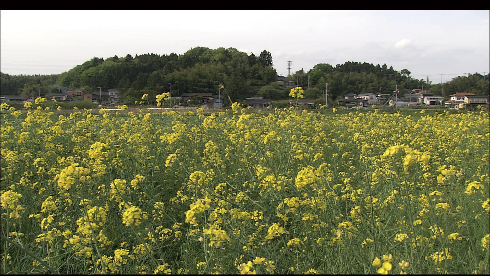 No.070008 角田の菜の花畑