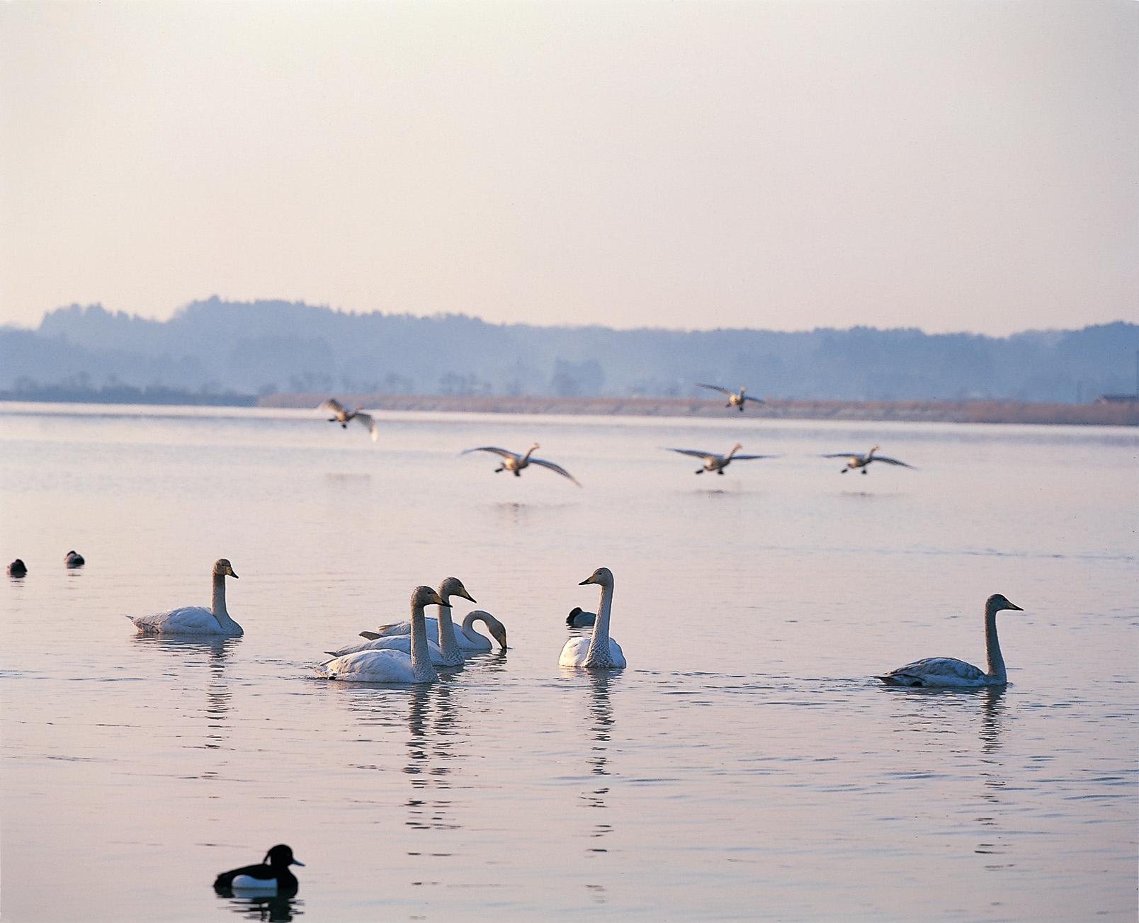 No.100090 伊豆沼の朝の鳥の群が舞う風景