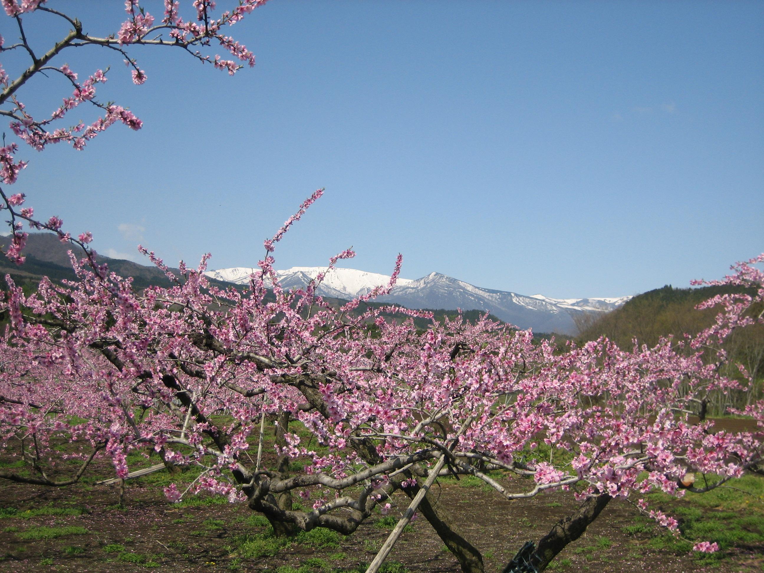 No.150040 蔵王連峰と桃の花