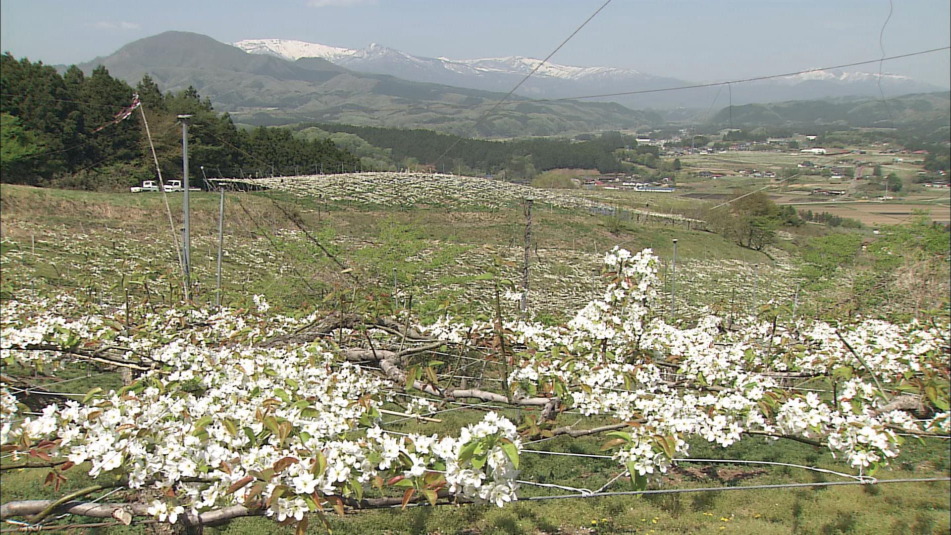 No.150072 蔵王の梨畑
