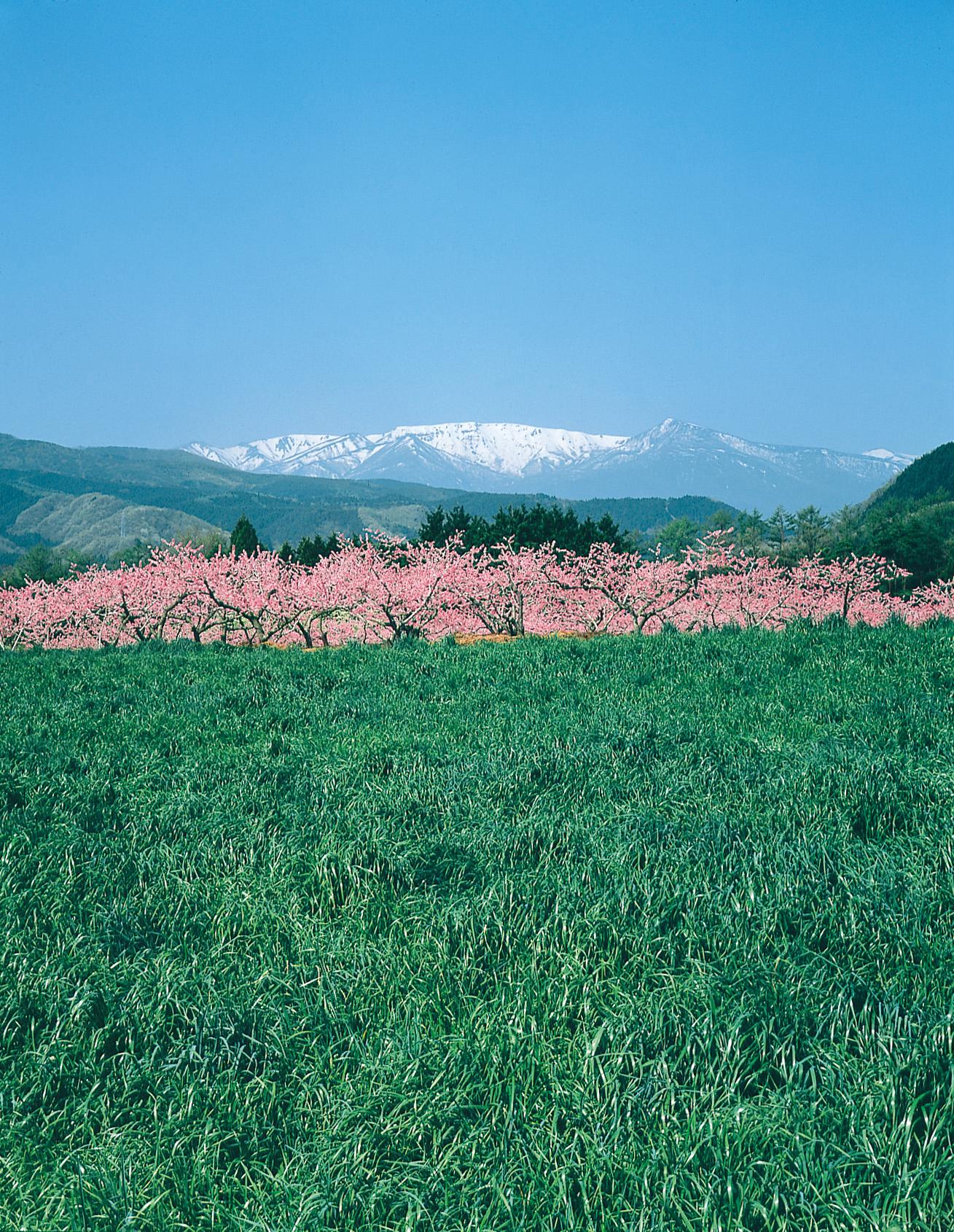 No.150117 蔵王連峰と桃の花