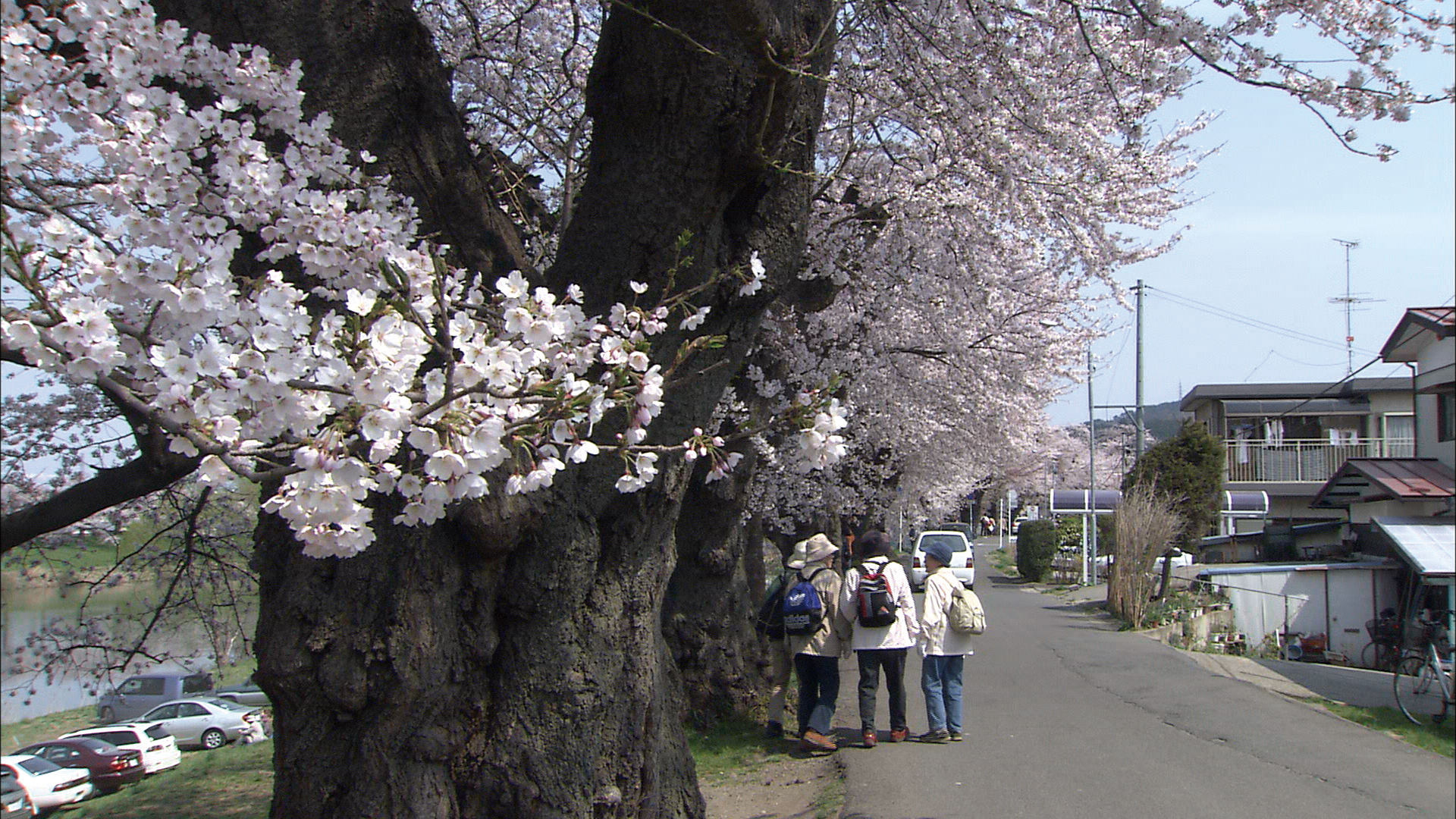 No.170001 白石川と桜並木