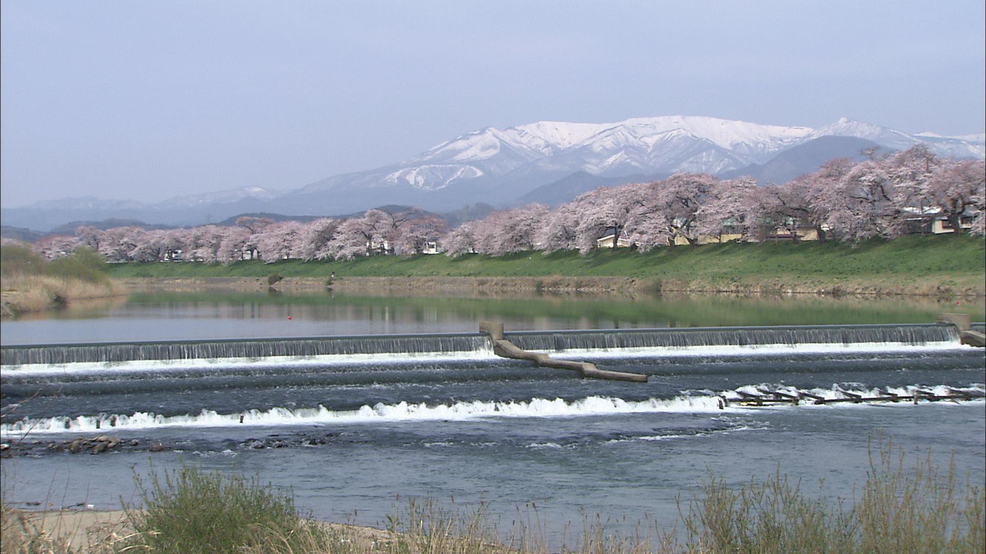 No.170004 白石川と桜並木