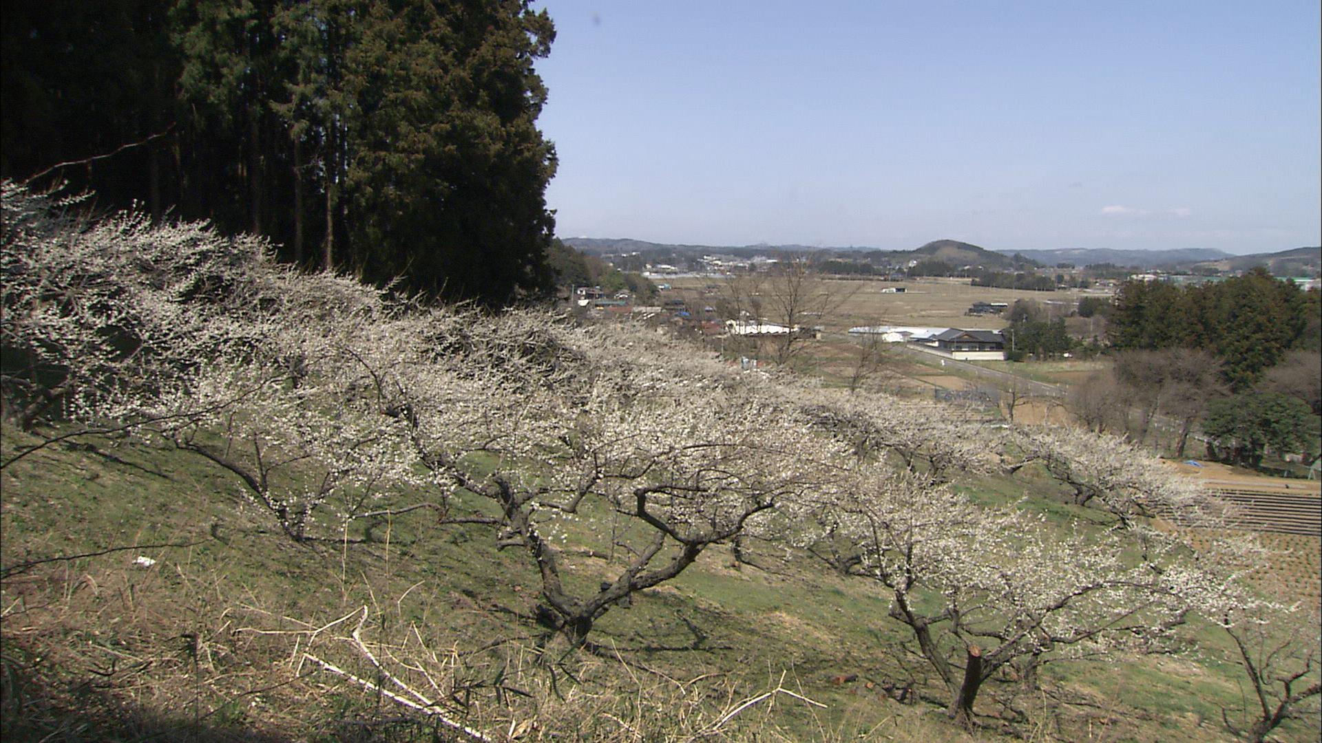 No.170006 大河原の梅畑