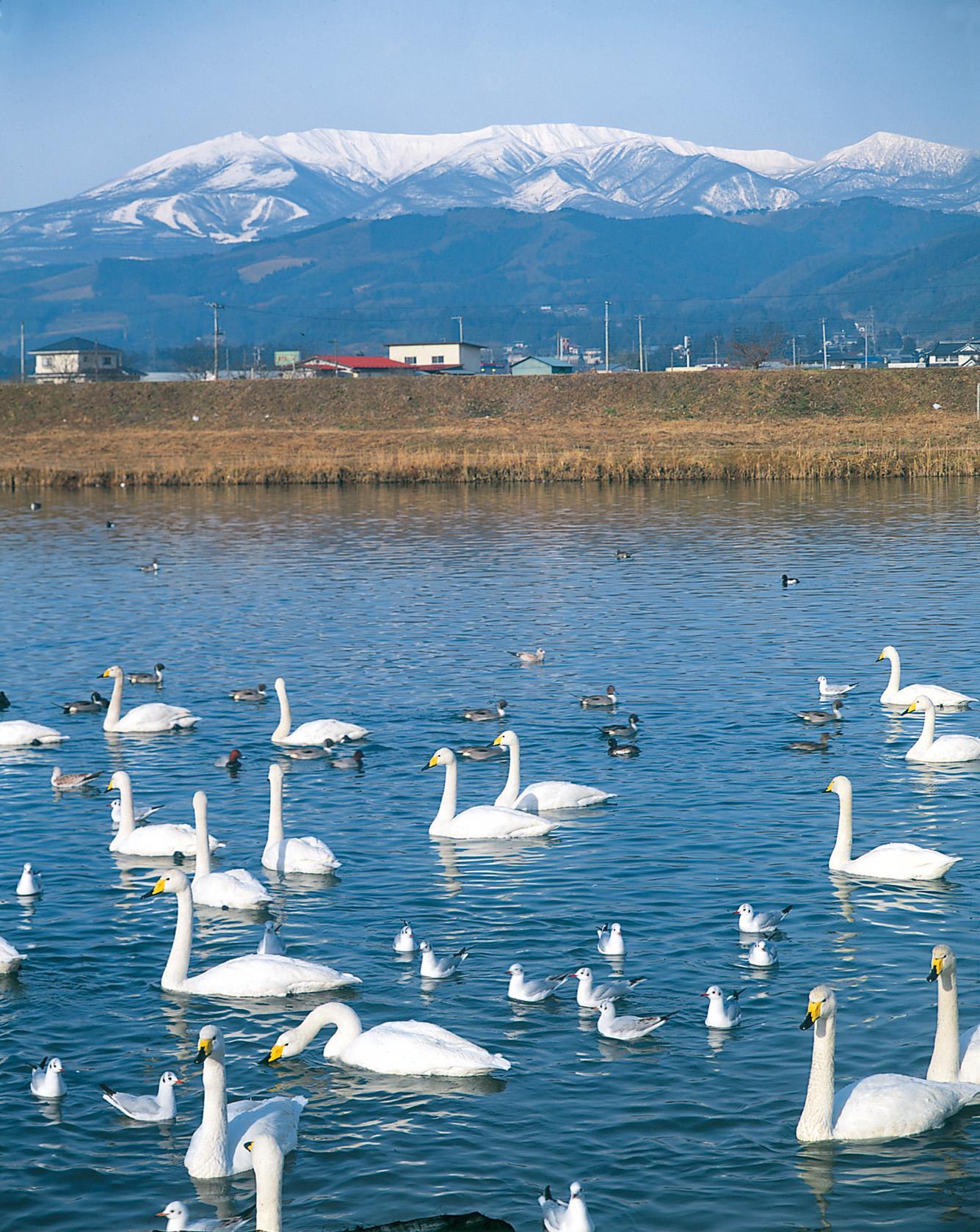 No.170007 白石川の白鳥と蔵王