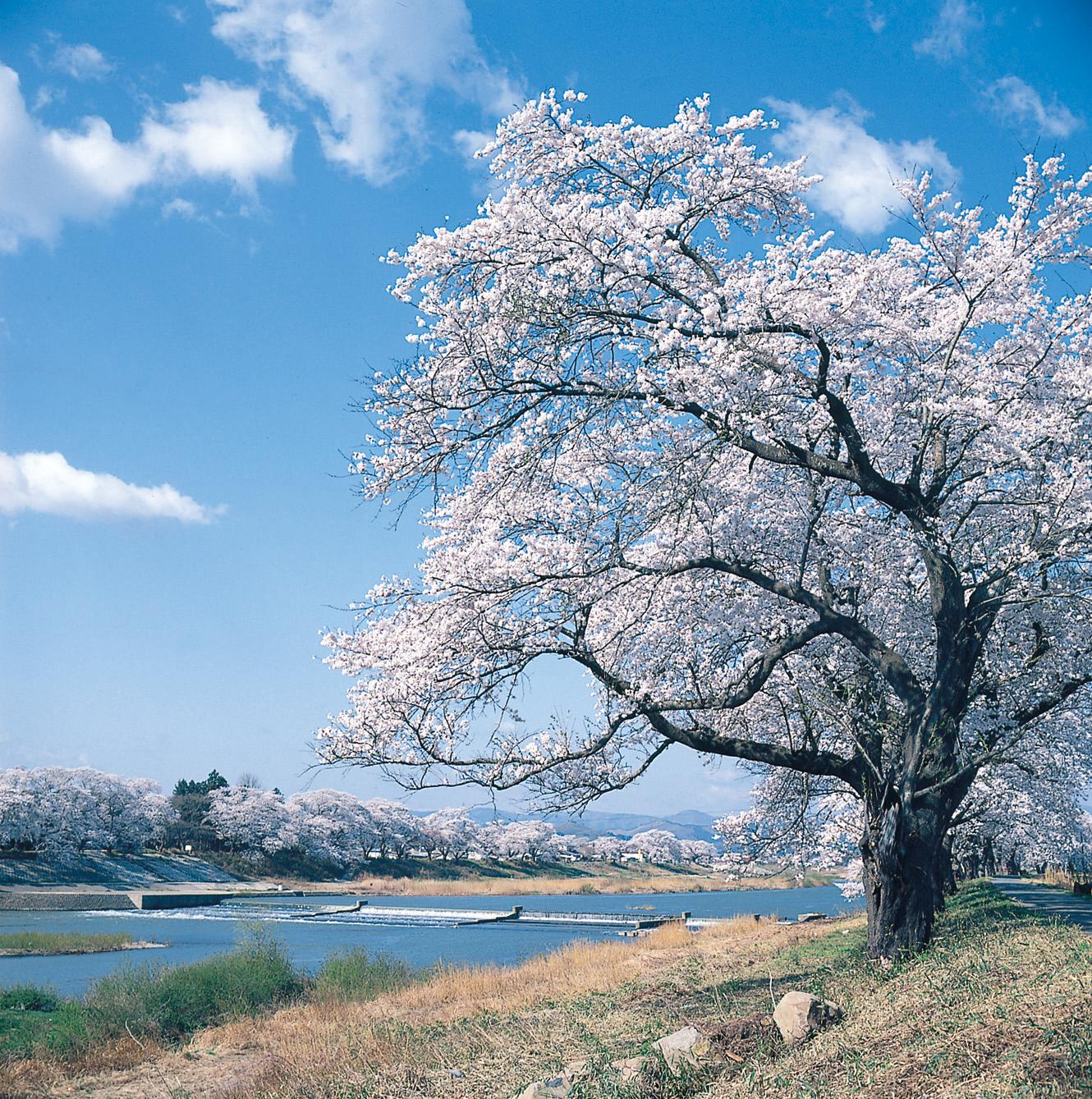 No.170008 白石川堤の桜