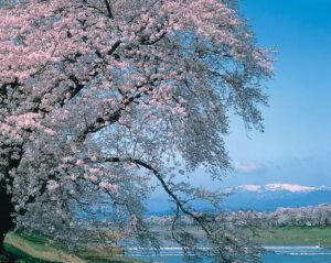 No.170010 蔵王・白石川と桜並木