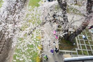 No.170018 蔵王・白石川と桜並木