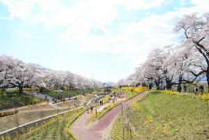 No.170019 蔵王・白石川と桜並木