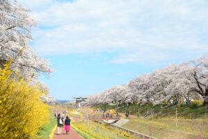 No.170021 蔵王・白石川と桜並木