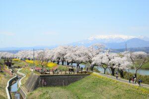 No.170024 蔵王・白石川と桜並木