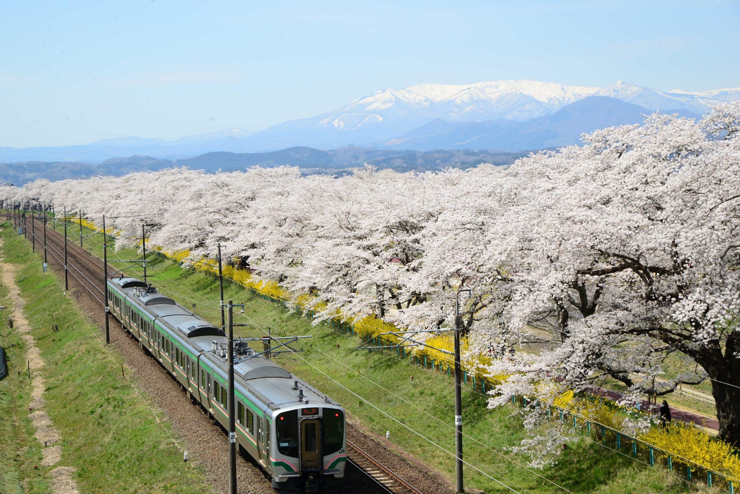 No.170025 蔵王・白石川と桜並木