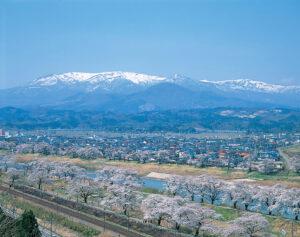 No.190007 桜並木と蔵王