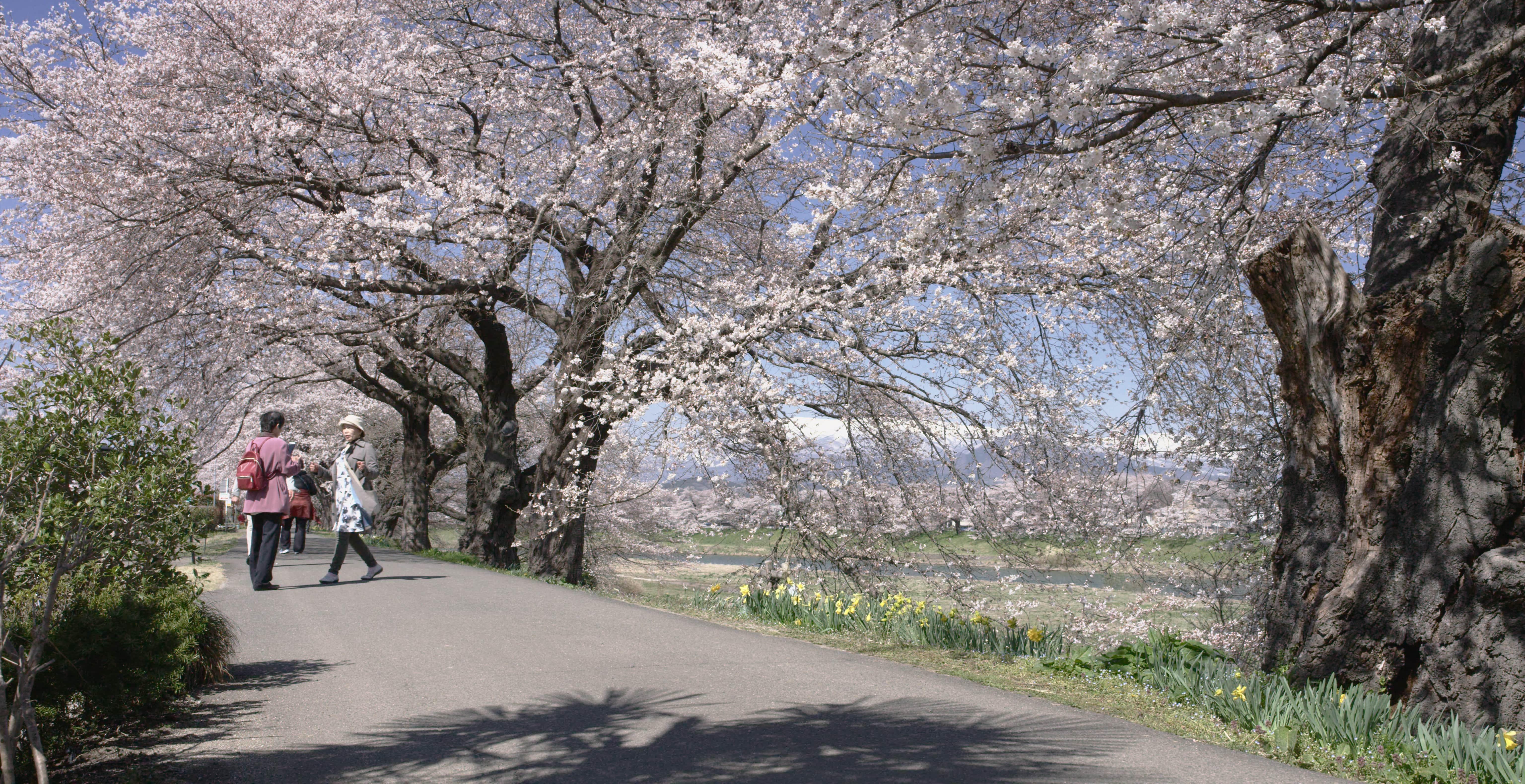 No.190013 白石川堤一目千本桜