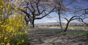 No.190014 白石川堤一目千本桜
