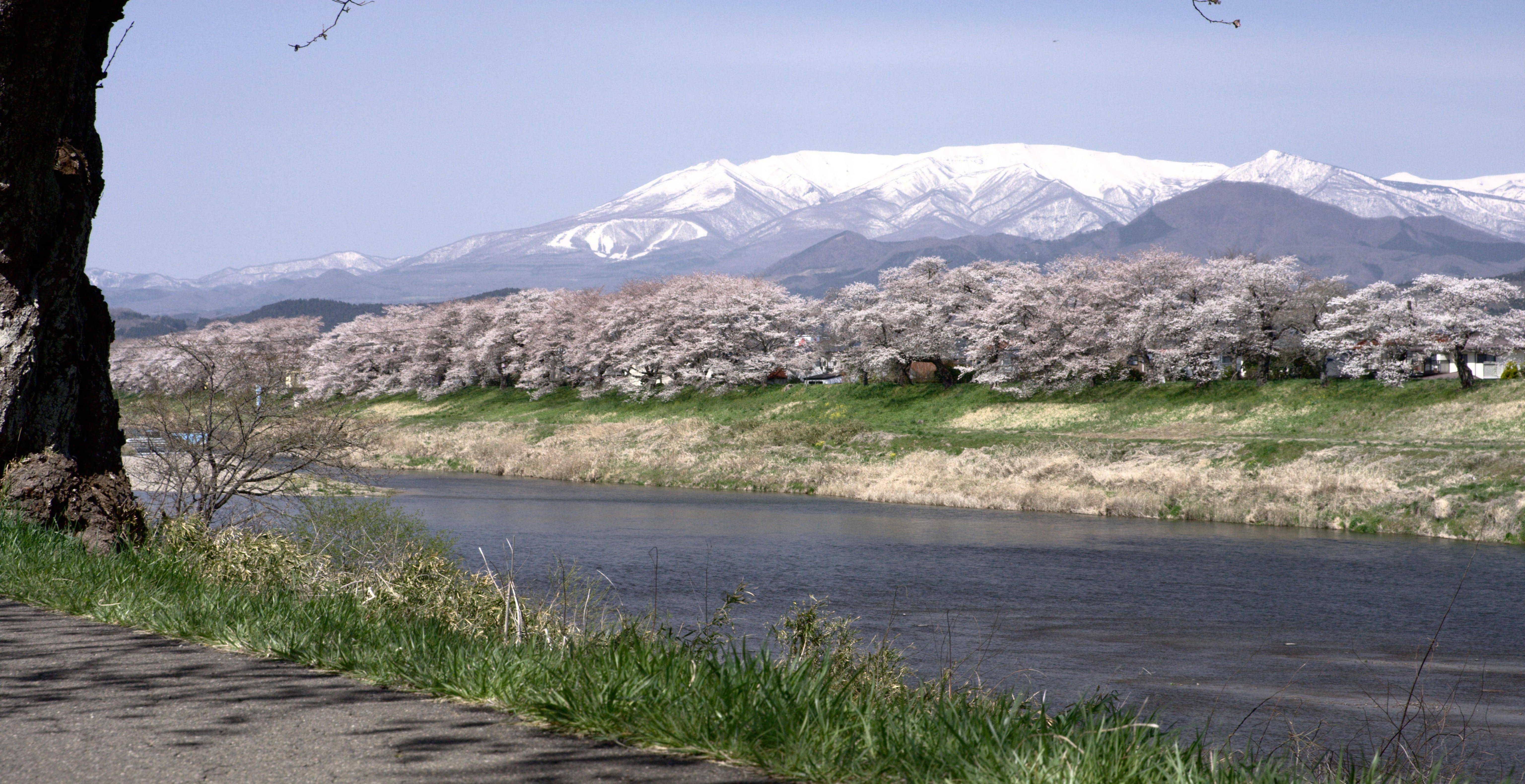 No.190016 白石川堤一目千本桜