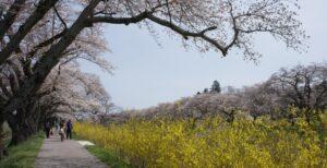 No.190018 白石川堤一目千本桜