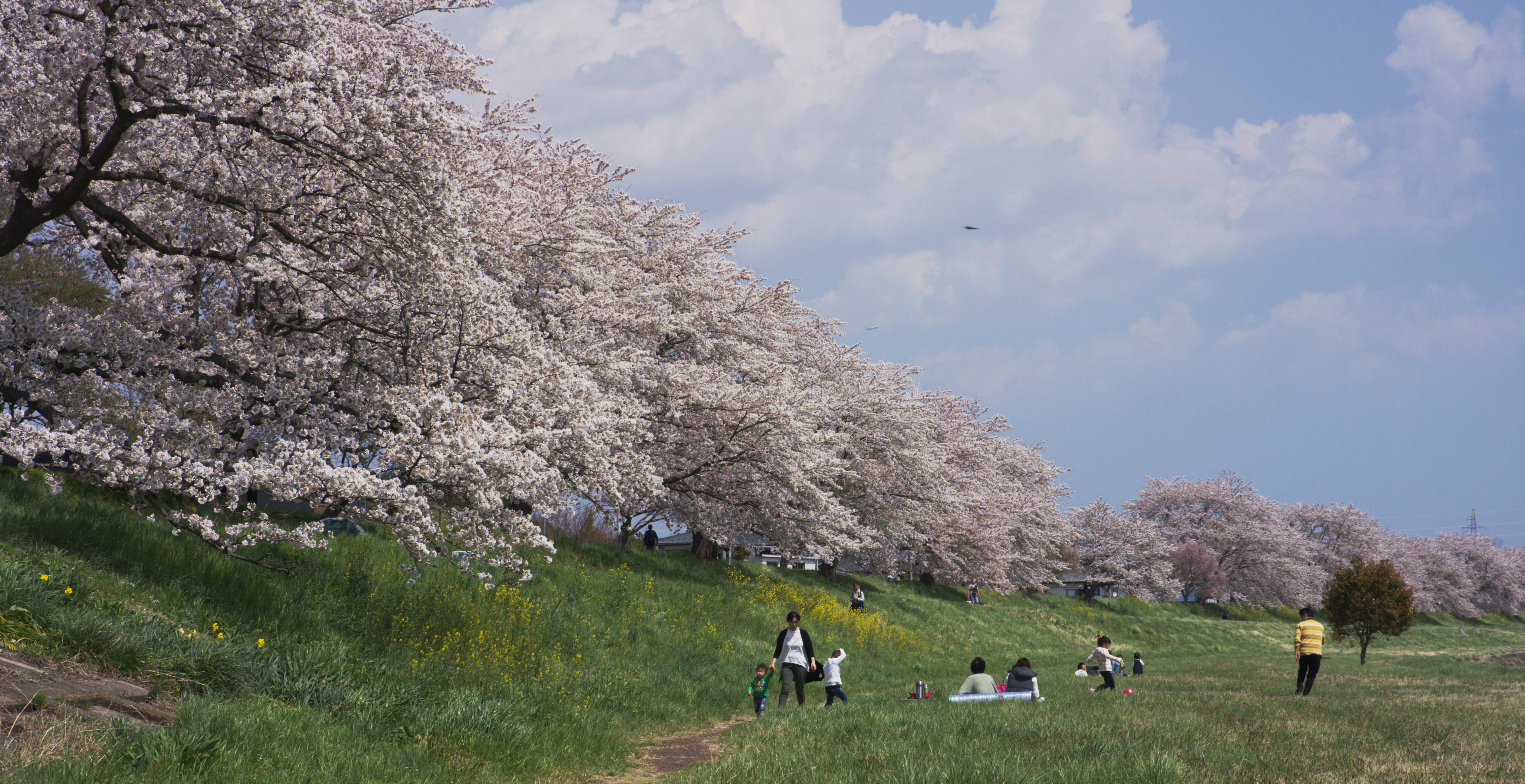 No.190020 船岡城址公園の桜