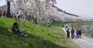 No.190022 船岡城址公園の桜