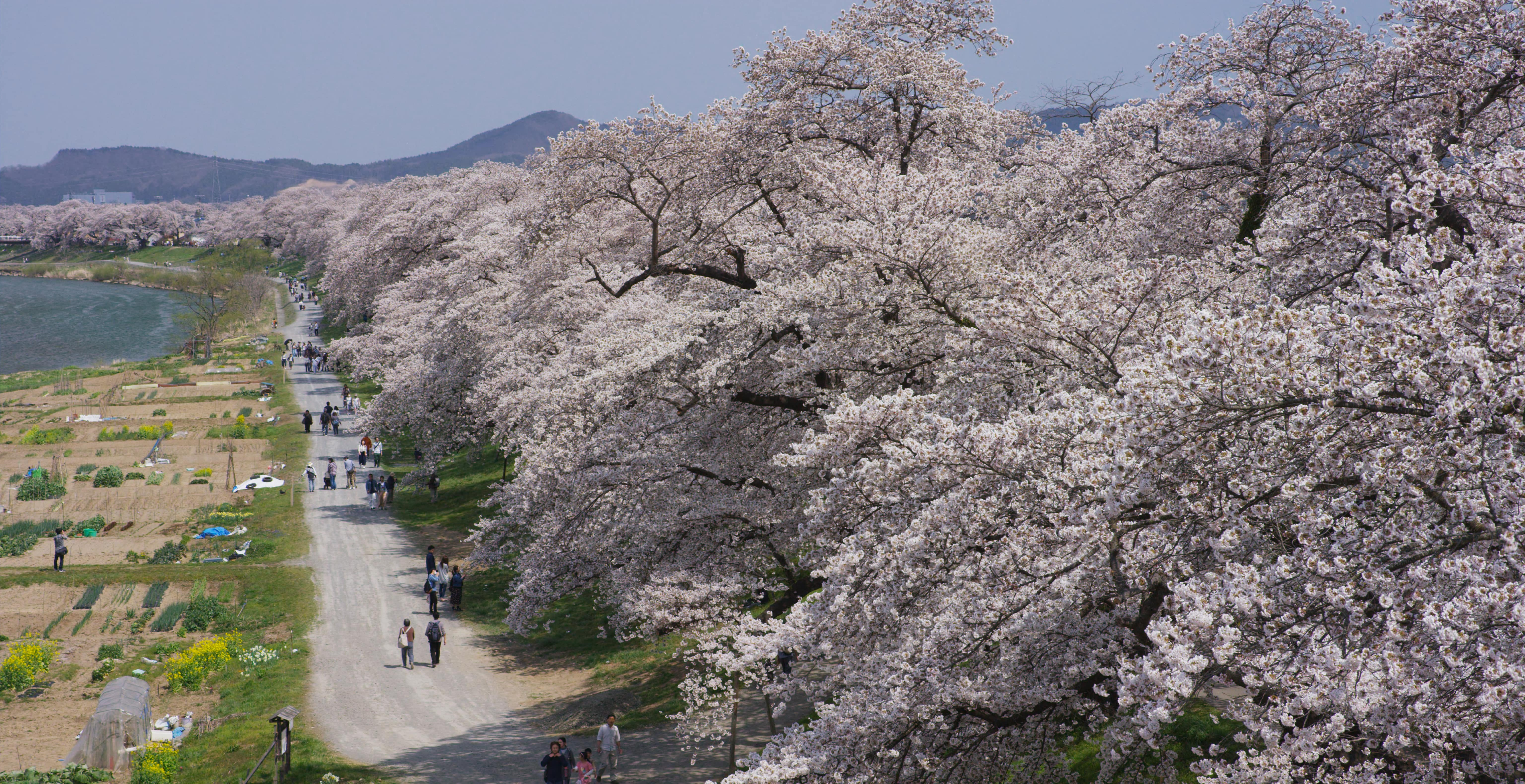 No.190024 船岡城址公園の桜