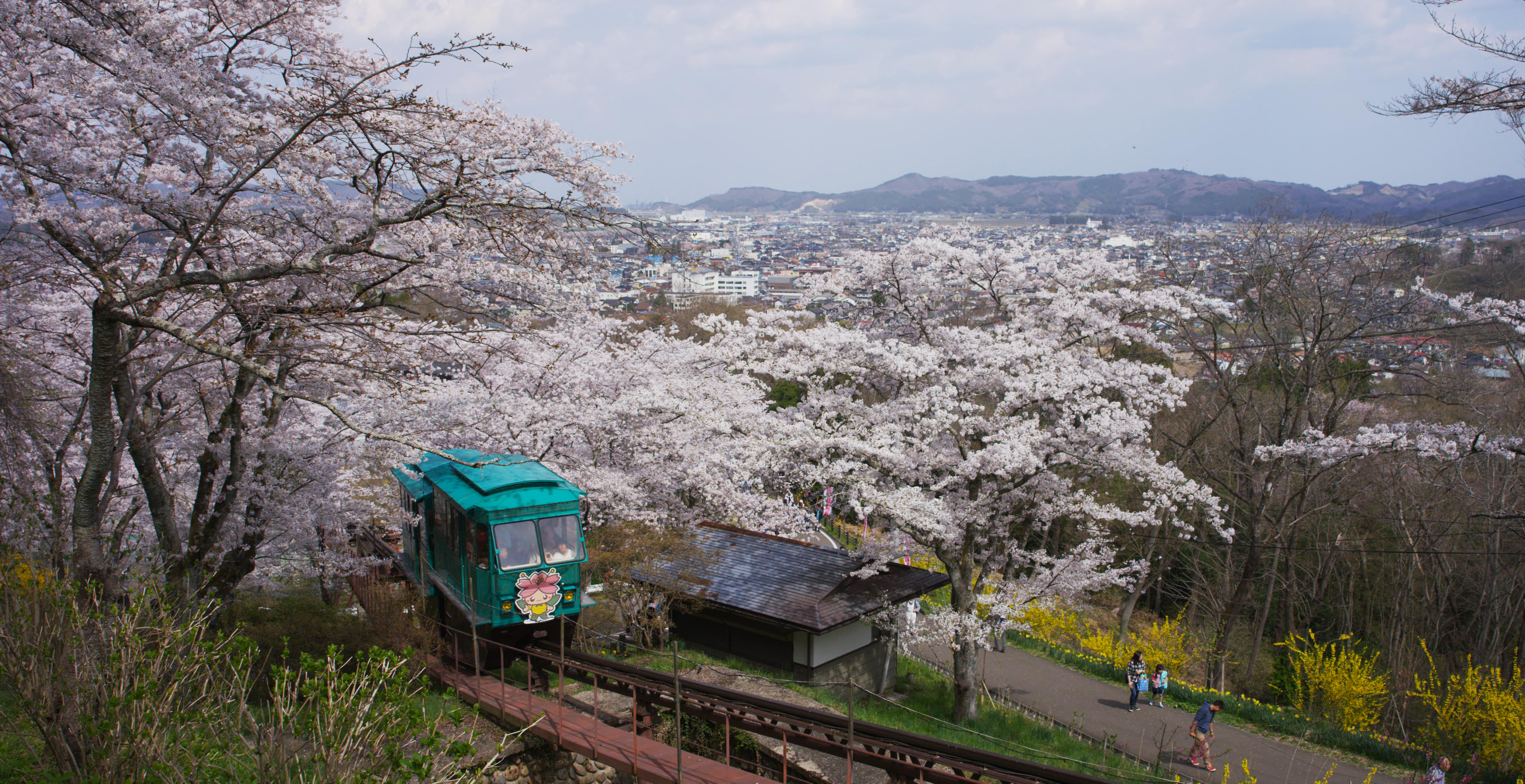 No.190026 船岡城址公園の桜