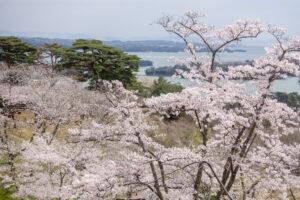 No.240001 松島湾の桜