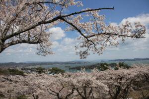 No.240030 松島湾の桜