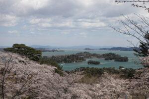No.240031 松島湾の桜