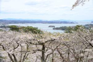 No.240032 松島湾と桜