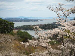 No.240033 松島湾と桜