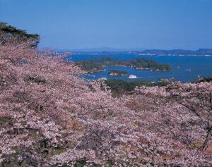 No.240074 桜の松島湾