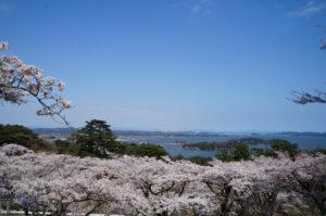 No.240079 西行戻しの松公園の桜