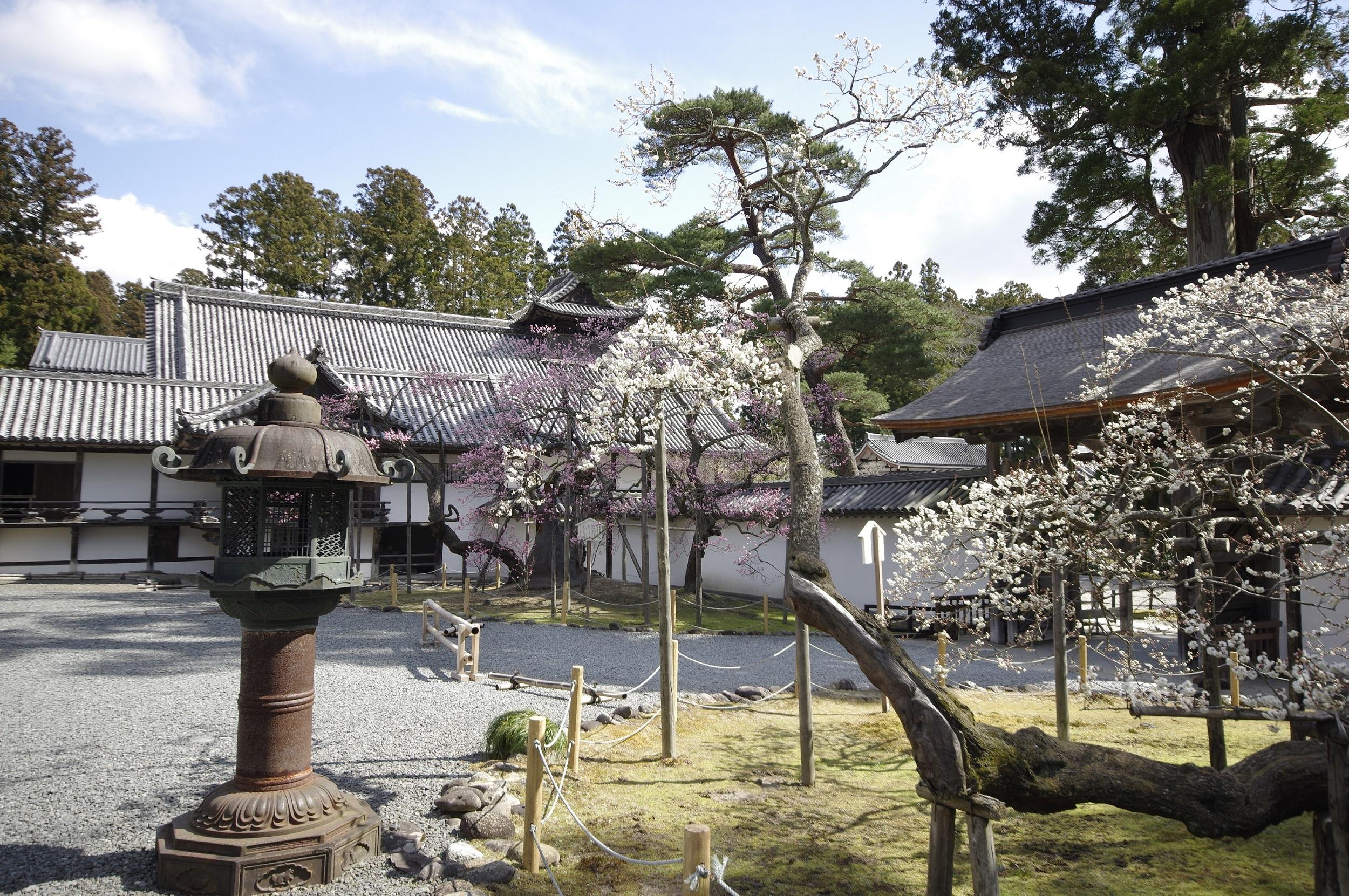 No.240110 瑞巌寺の臥龍梅
