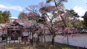 No.240112 瑞巌寺の臥龍梅