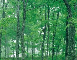 No.990048 春の樹(ブナ)