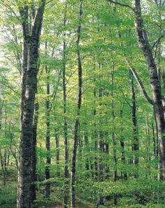 No.990050 新緑のブナ林