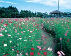 No.130101 御本丸公園(コスモス園)